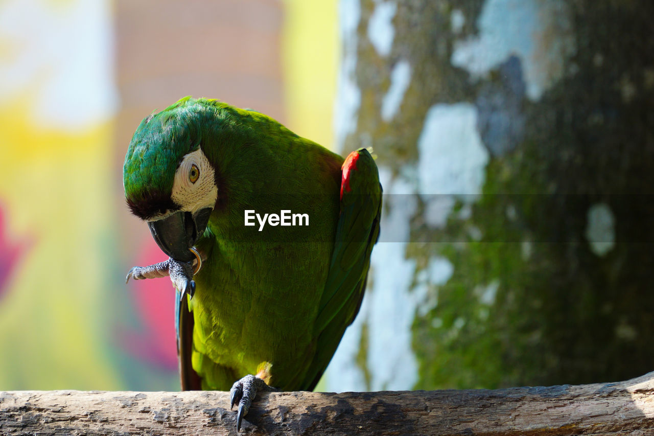 bird, animal themes, animal, vertebrate, parrot, animals in the wild, animal wildlife, focus on foreground, one animal, perching, wood - material, tree, day, no people, close-up, green color, branch, nature, beak, outdoors, rainbow lorikeet