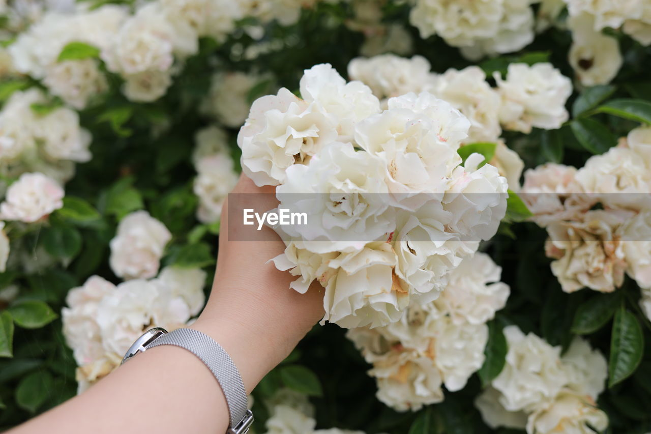flowering plant, flower, human hand, plant, hand, fragility, vulnerability, freshness, real people, human body part, close-up, nature, one person, beauty in nature, white color, holding, focus on foreground, personal perspective, petal, day, finger, flower head, human limb