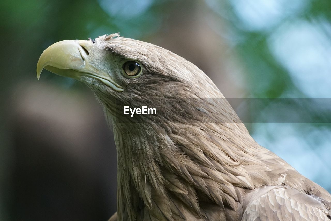 Close-Up Of Eagle Looking Up