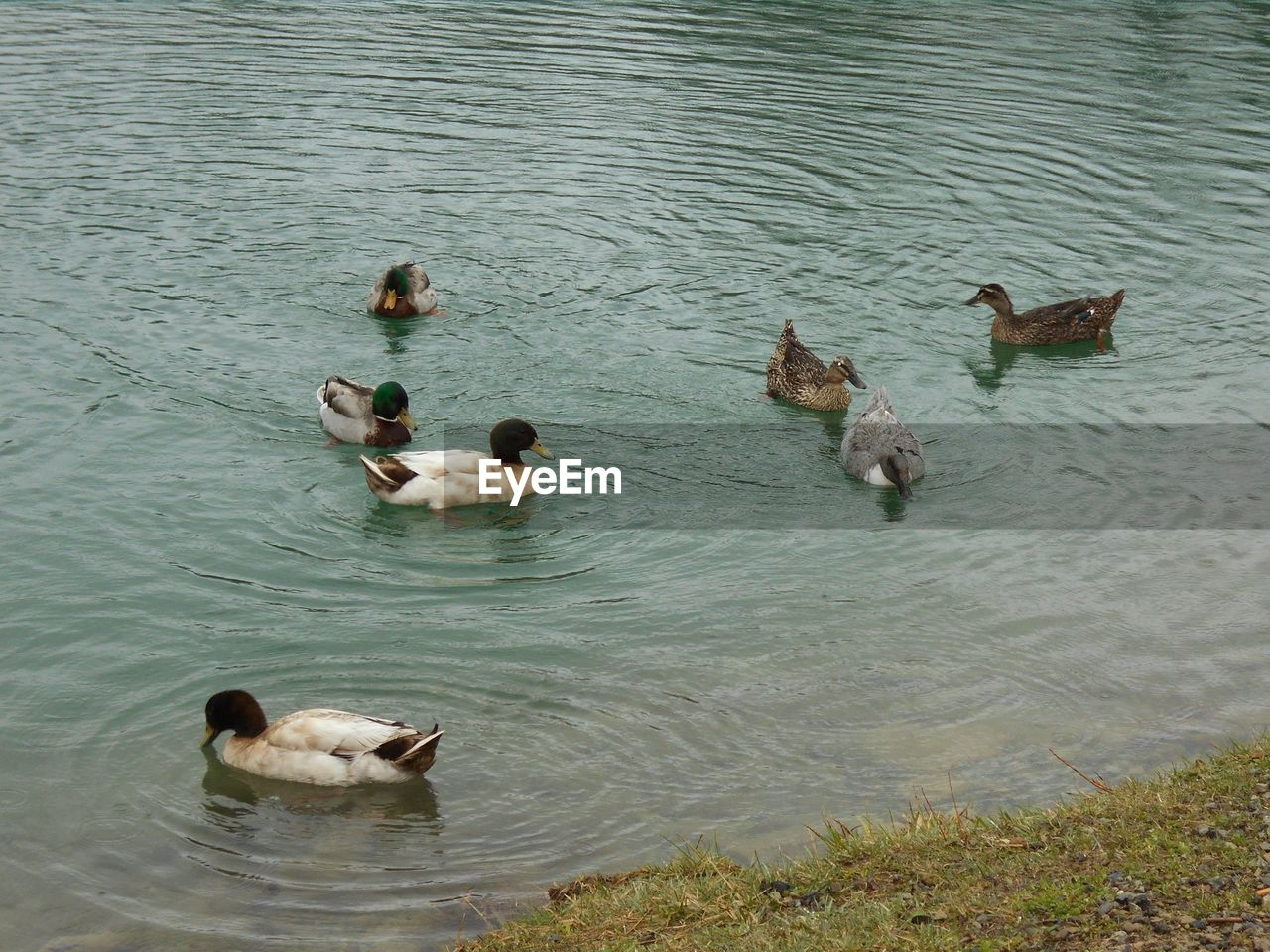 group of animals, animal themes, animal, water, swimming, vertebrate, animals in the wild, high angle view, animal wildlife, lake, no people, day, waterfront, nature, duck, bird, poultry, young animal, rippled, outdoors, animal family