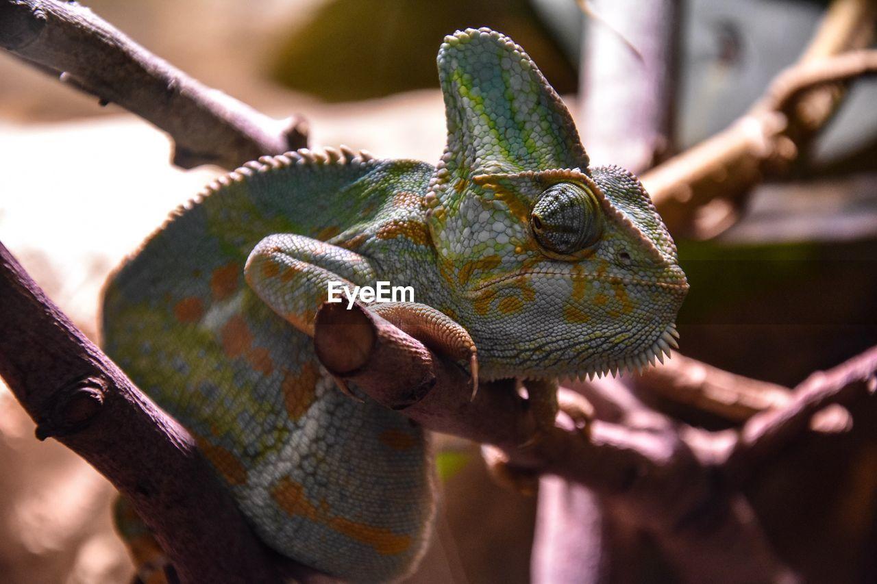 Close-Up Of Chameleon On Plant Stem