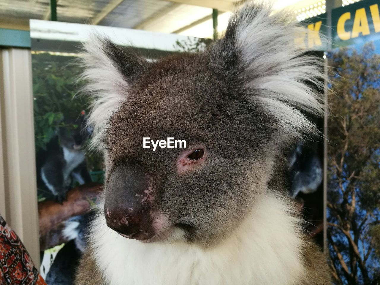 mammal, animal, animal themes, one animal, vertebrate, close-up, focus on foreground, animal wildlife, no people, portrait, domestic animals, domestic, pets, koala, looking, day, animals in the wild, outdoors, animal head, animal body part, herbivorous, whisker