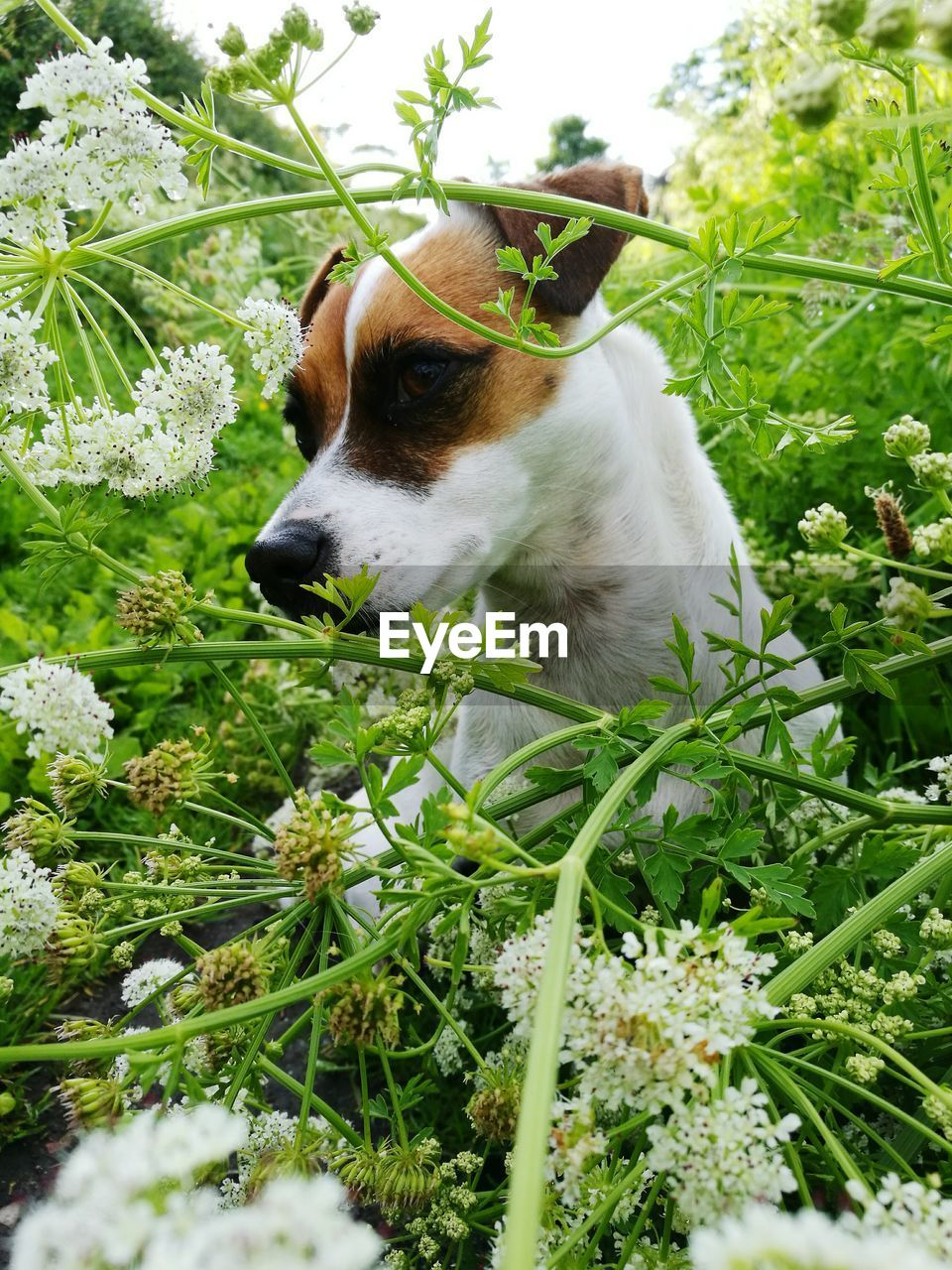 dog, one animal, pets, domestic animals, animal themes, mammal, plant, green color, leaf, day, outdoors, grass, growth, no people, nature, close-up, tree, beagle