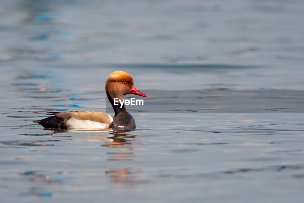water, animal themes, animals in the wild, animal wildlife, bird, animal, vertebrate, waterfront, swimming, lake, nature, one animal, day, no people, selective focus, water bird, rippled, beauty in nature
