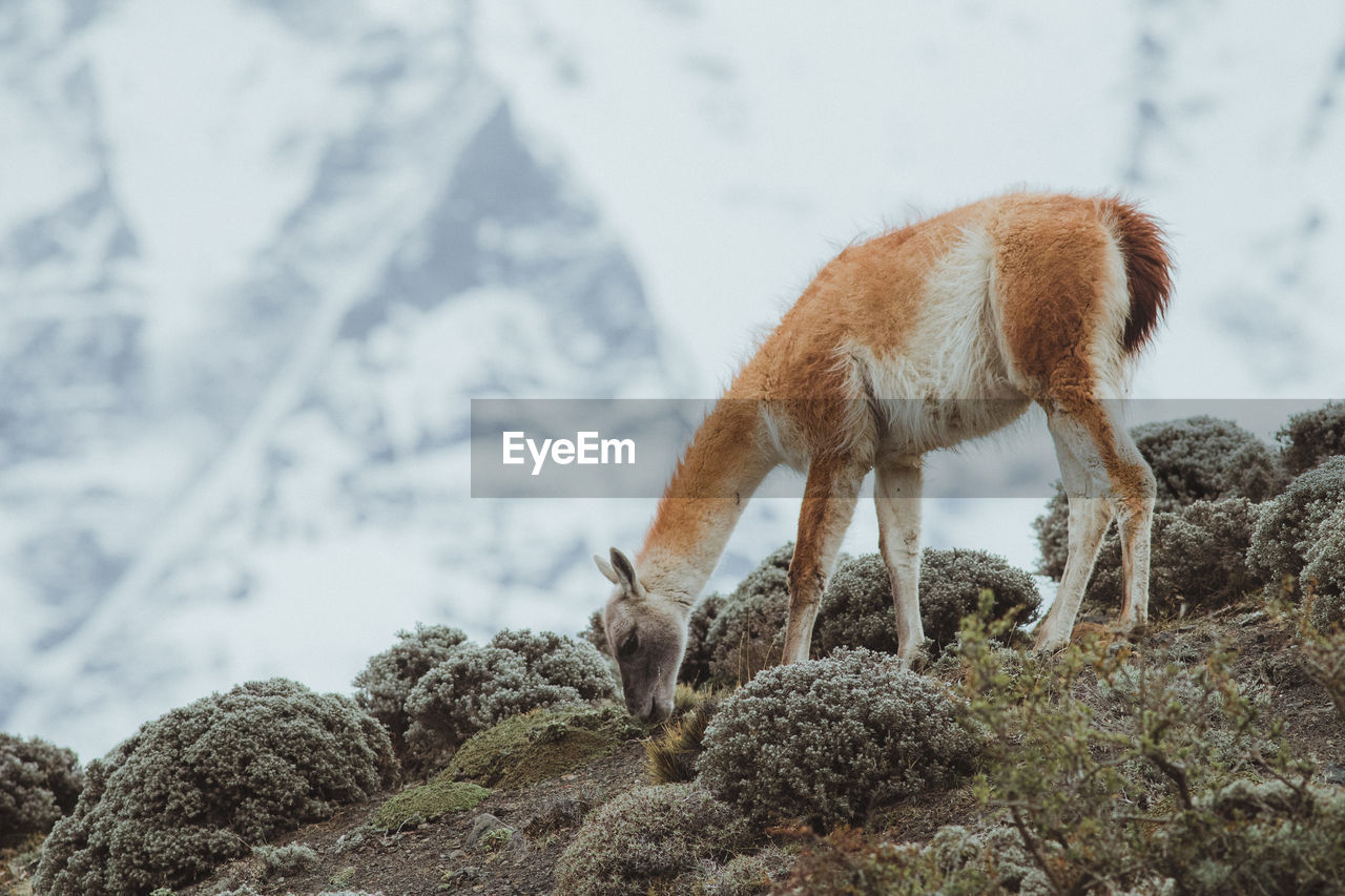mammal, animal themes, animal, vertebrate, one animal, nature, animal wildlife, domestic animals, livestock, animals in the wild, no people, rock, rock - object, day, land, focus on foreground, pets, mountain, domestic, plant, outdoors, herbivorous