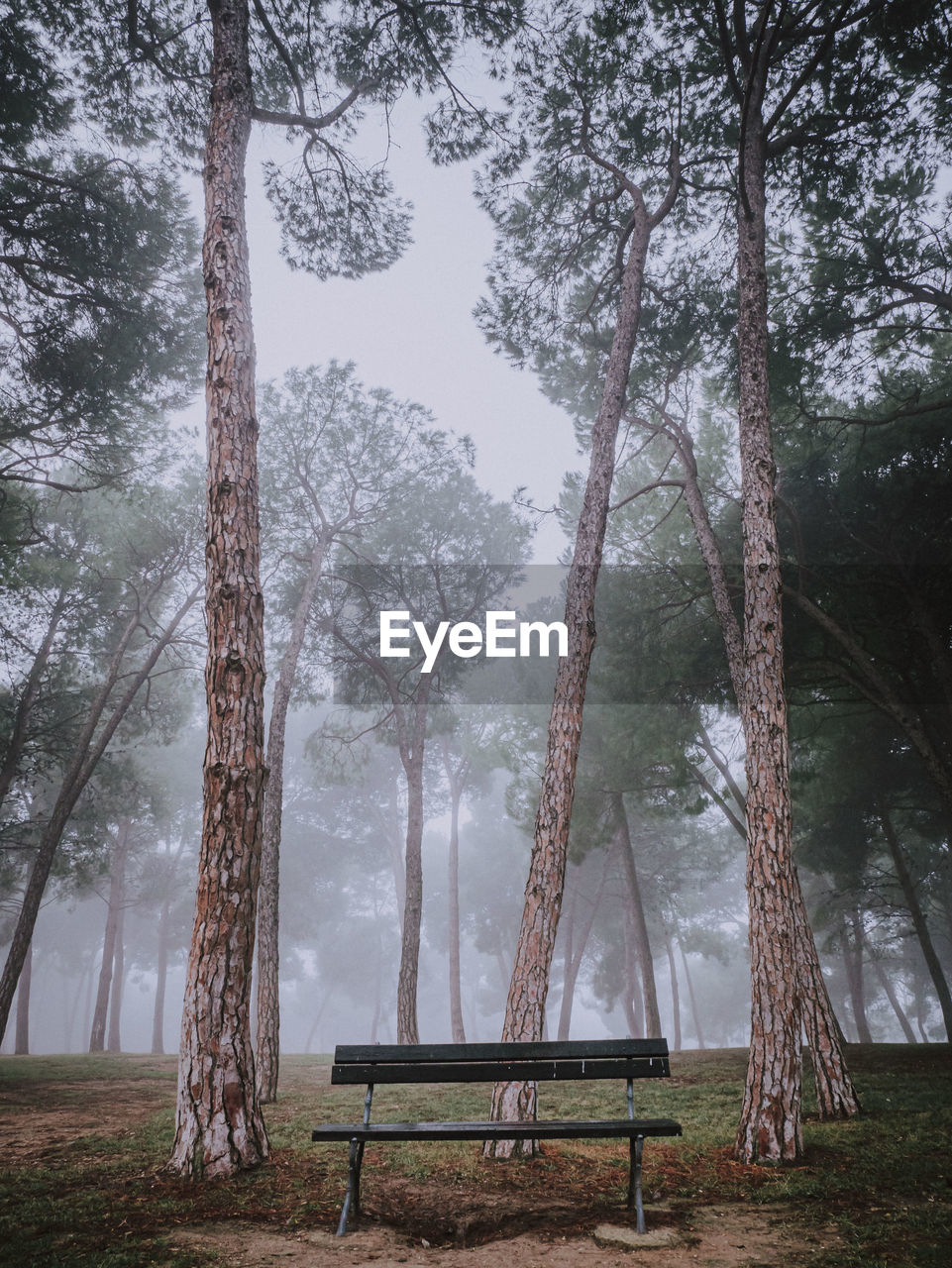Empty bench by trees in forest in a foggy morning