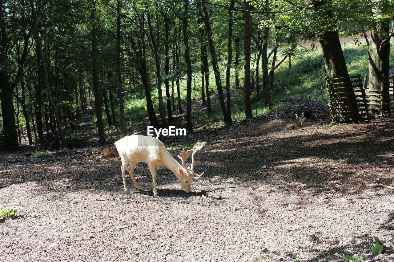 Fallow buck grazing on field in forest