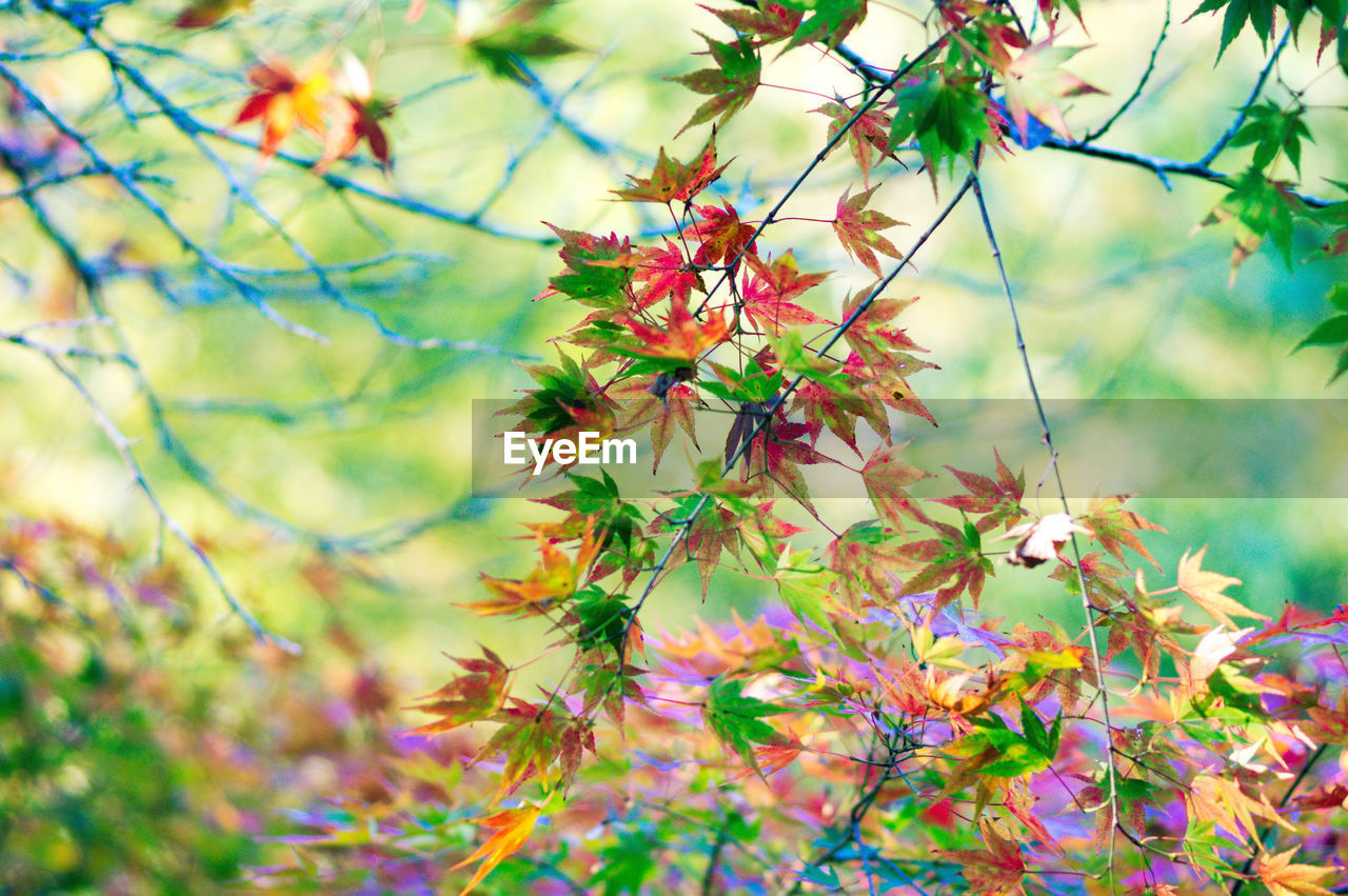 plant, growth, beauty in nature, day, nature, close-up, no people, selective focus, flowering plant, plant part, leaf, focus on foreground, vulnerability, flower, freshness, tree, fragility, branch, outdoors, autumn, maple leaf, purple, leaves