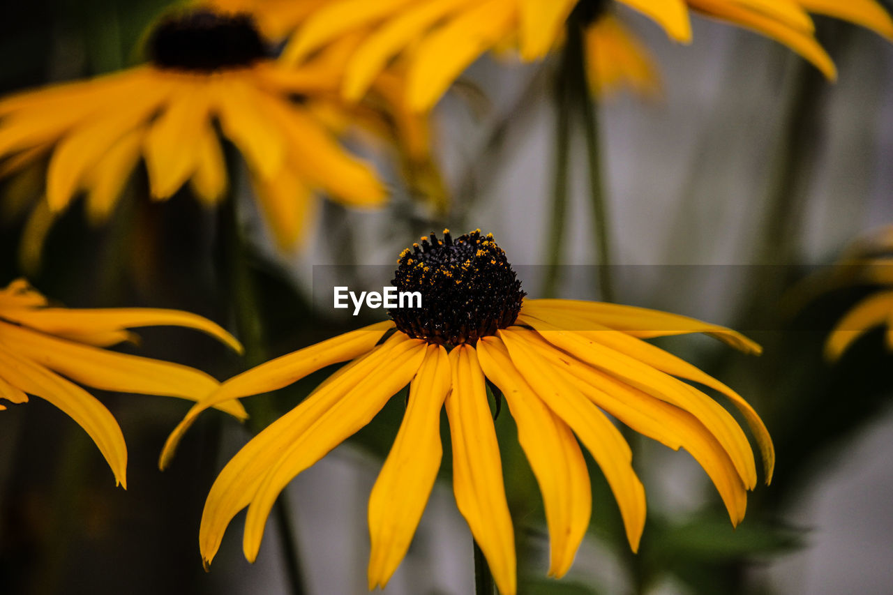 flower, fragility, petal, growth, beauty in nature, nature, yellow, flower head, freshness, pollen, plant, black-eyed susan, blooming, coneflower, no people, focus on foreground, close-up, day, outdoors, eastern purple coneflower