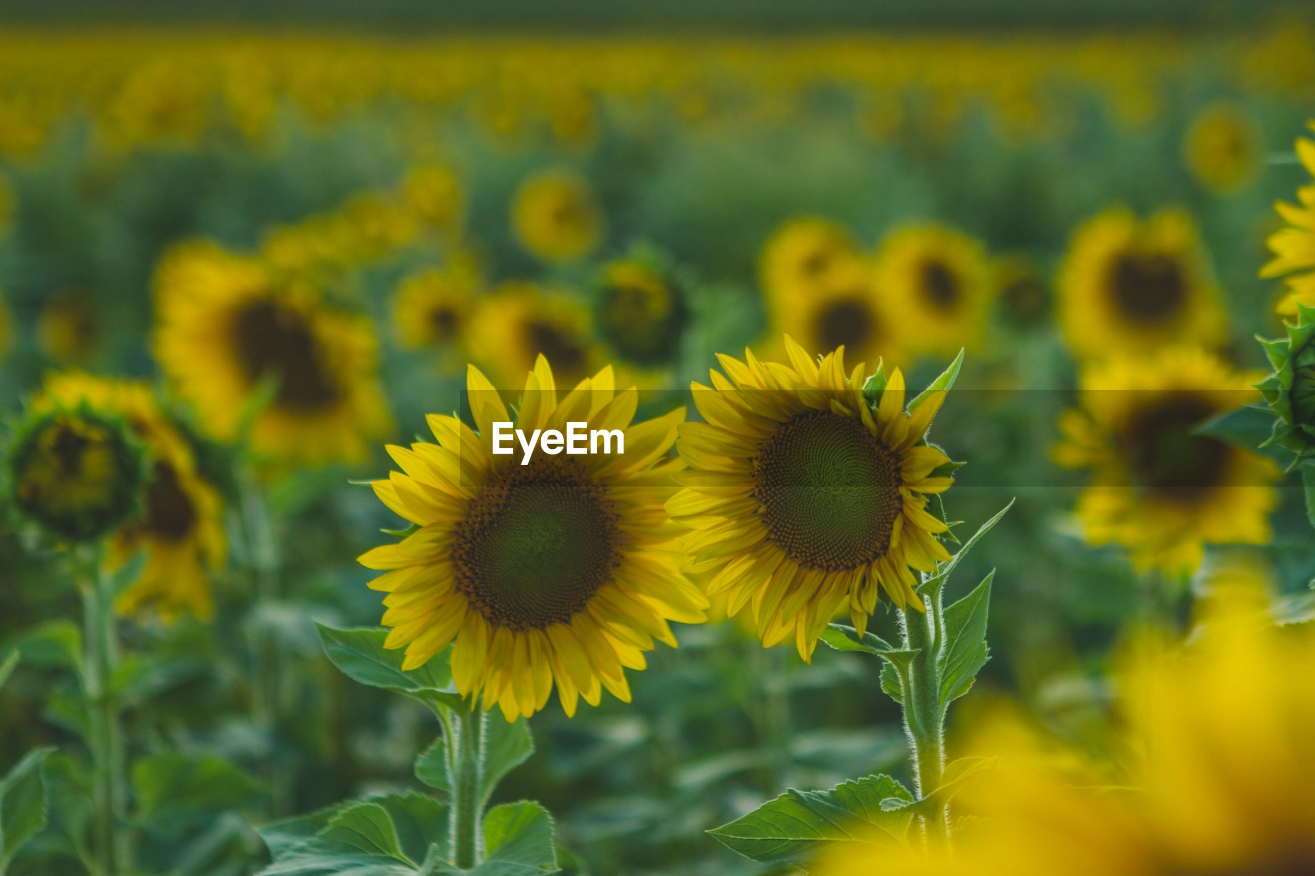 Sunflowers blooming on field