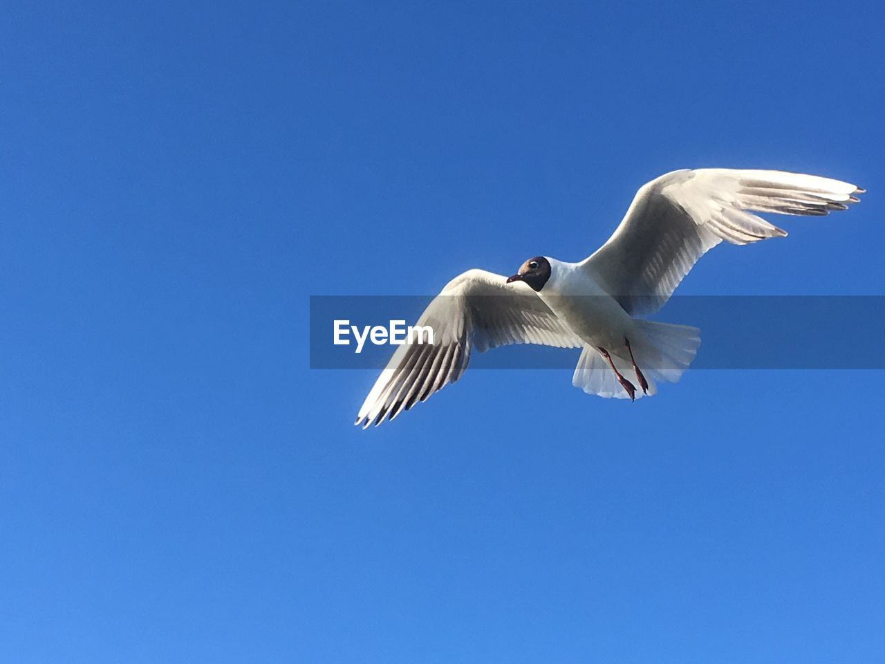 animal wildlife, animals in the wild, flying, sky, spread wings, low angle view, vertebrate, bird, clear sky, animal themes, animal, one animal, copy space, blue, seagull, white color, no people, day, mid-air, nature