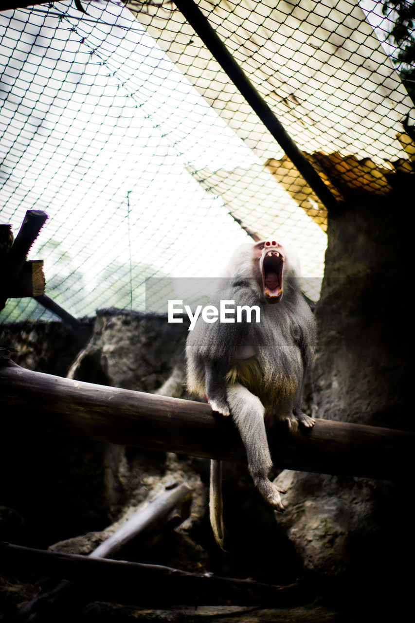 animal themes, primate, animal, monkey, one animal, mammal, animal wildlife, animals in the wild, vertebrate, sitting, day, zoo, animals in captivity, no people, mouth, mouth open, zoology, low angle view, outdoors, focus on foreground