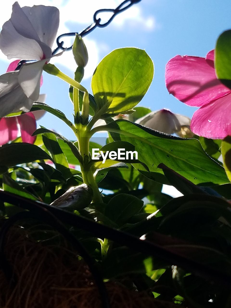leaf, growth, petal, green color, nature, plant, no people, flower, pink color, beauty in nature, outdoors, day, close-up, fragility, freshness, tree, sky, flower head