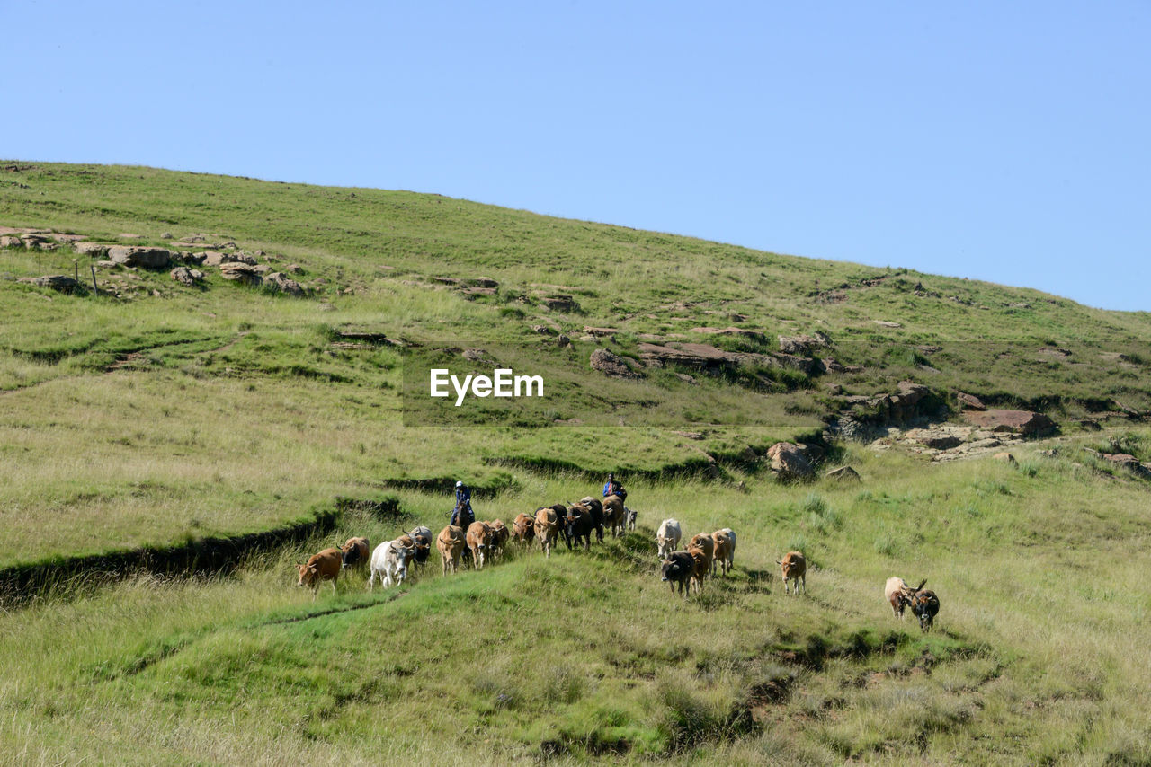 HORSES GRAZING ON GRASSY FIELD AGAINST CLEAR SKY
