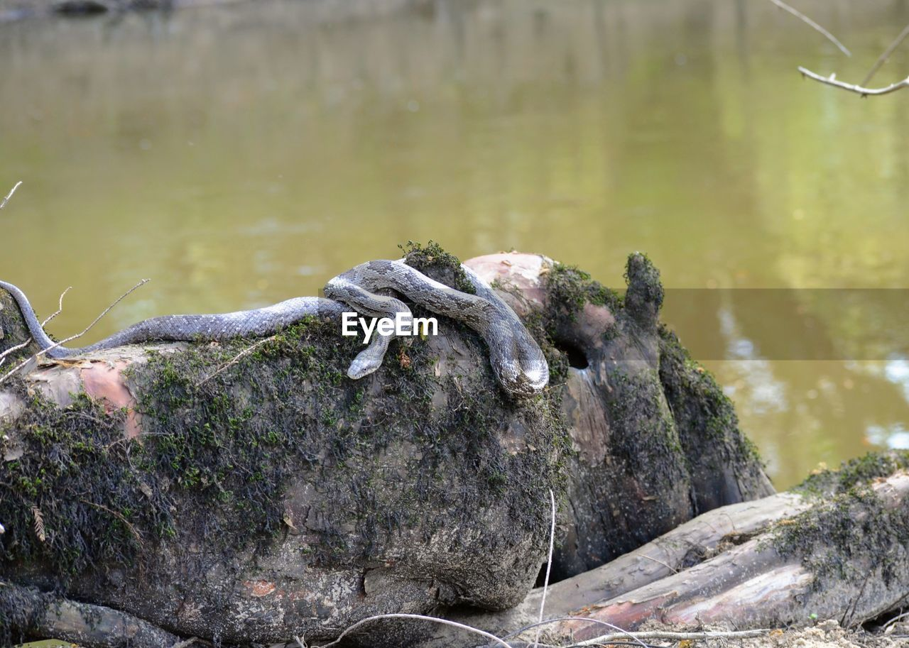water, rock, rock - object, animals in the wild, nature, solid, no people, animal wildlife, day, animal themes, animal, lake, focus on foreground, vertebrate, tranquility, outdoors, close-up, reptile, driftwood, marine
