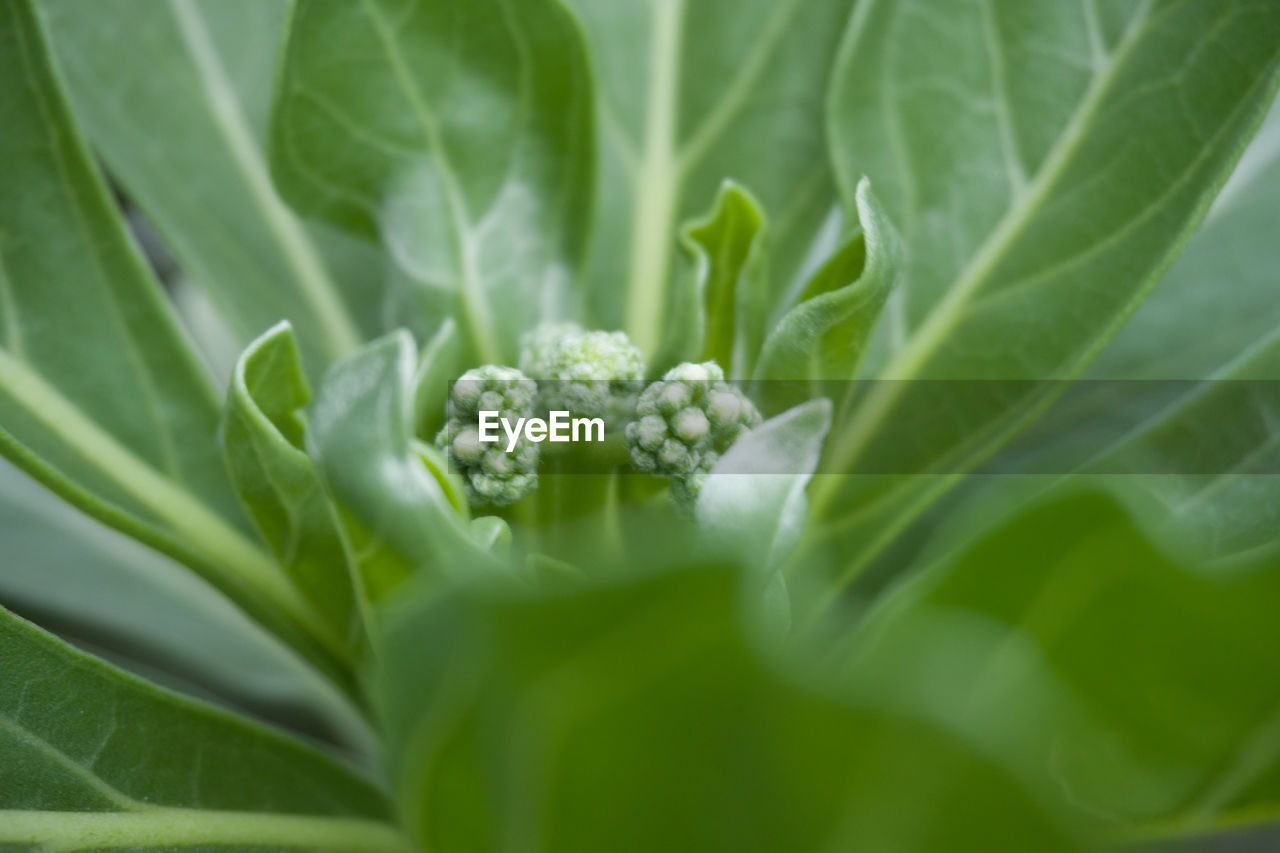 green color, leaf, plant, growth, freshness, nature, no people, close-up, vegetable, food, beauty in nature, fragility, day, flower, outdoors