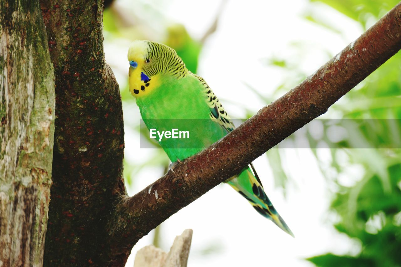 animal themes, animal, animal wildlife, vertebrate, animals in the wild, bird, one animal, parrot, perching, focus on foreground, branch, tree, parakeet, plant, no people, day, nature, tree trunk, trunk, close-up, outdoors
