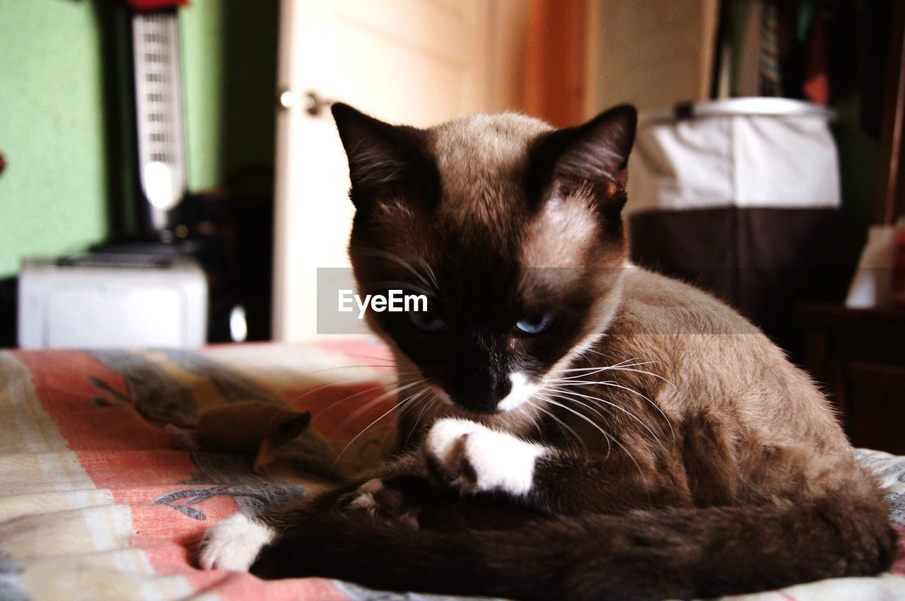 domestic cat, pets, mammal, domestic animals, one animal, animal themes, feline, cat, indoors, whisker, home interior, relaxation, siamese cat, looking at camera, sitting, no people, portrait, close-up, day