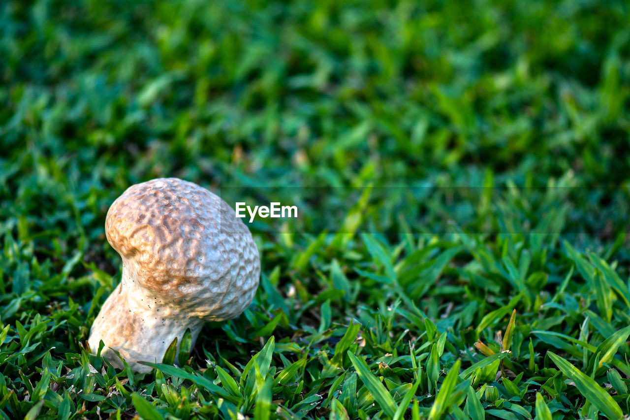 plant, grass, green color, nature, growth, land, close-up, mushroom, no people, field, day, vegetable, fungus, food, animal wildlife, one animal, gastropod, animal, animal themes, outdoors, toadstool