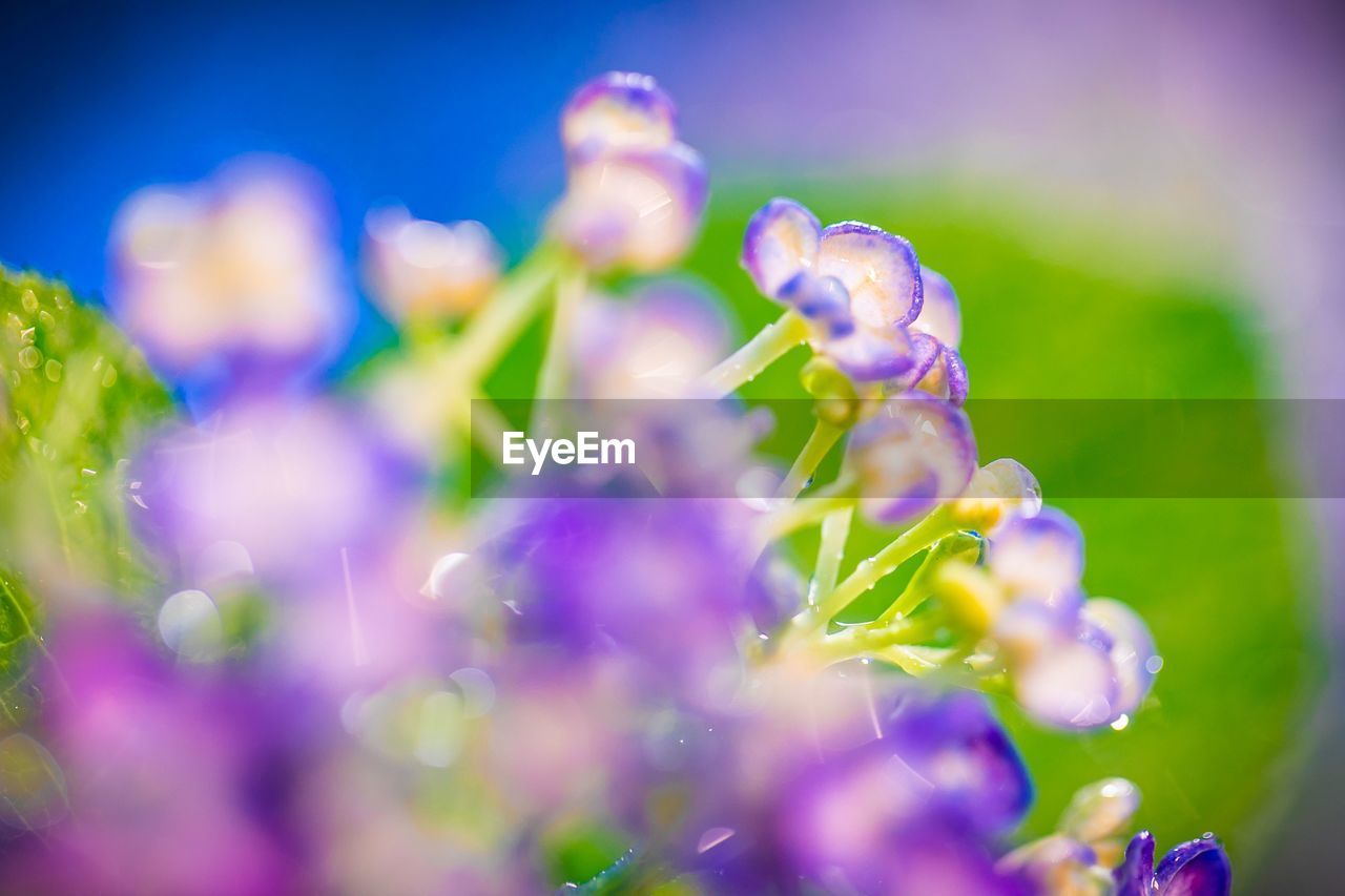 flower, flowering plant, vulnerability, freshness, plant, fragility, growth, beauty in nature, selective focus, close-up, petal, purple, nature, no people, day, inflorescence, flower head, outdoors, macro, drop, lavender