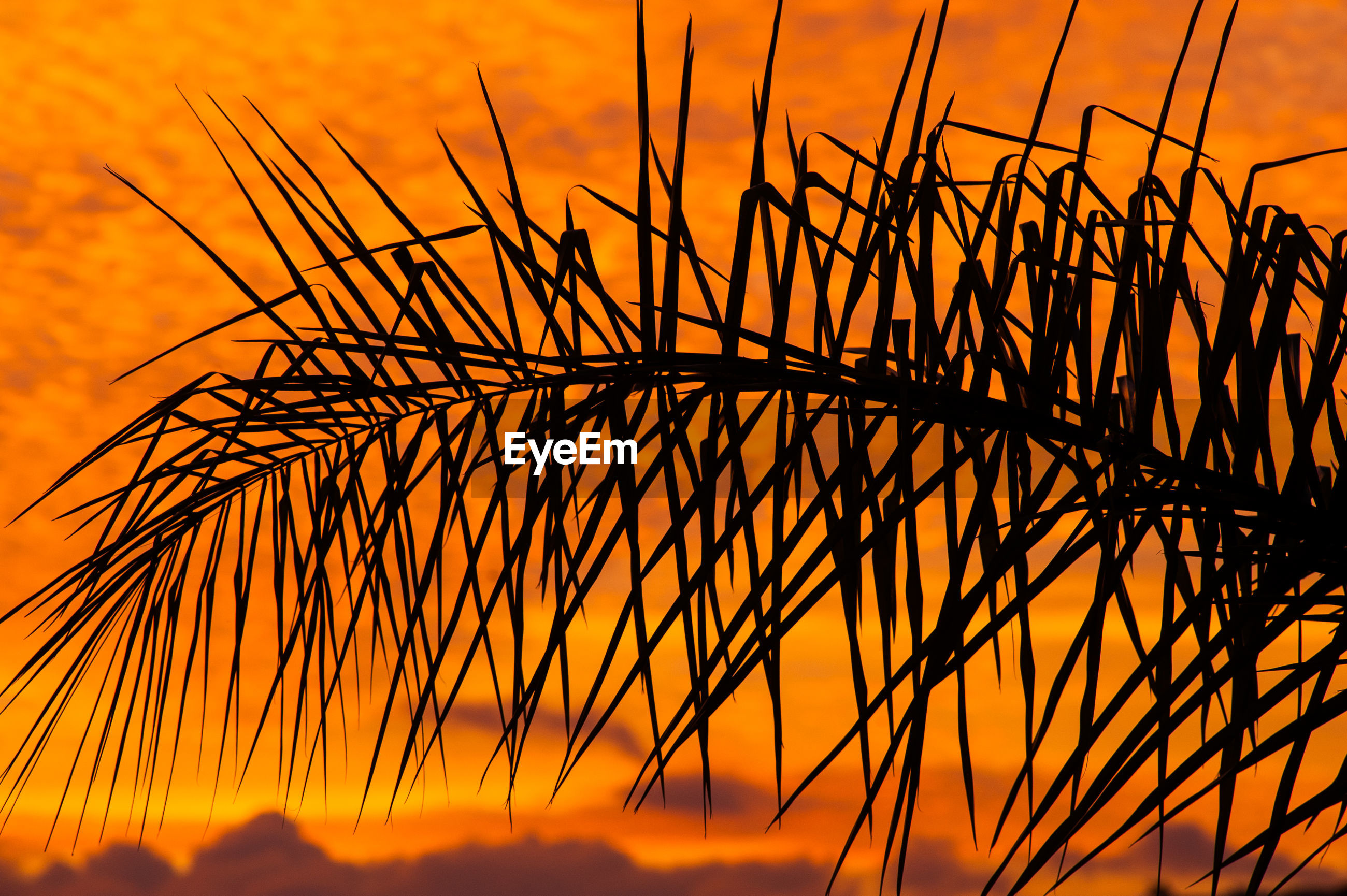 CLOSE-UP OF SILHOUETTE GRASS AGAINST ORANGE SKY