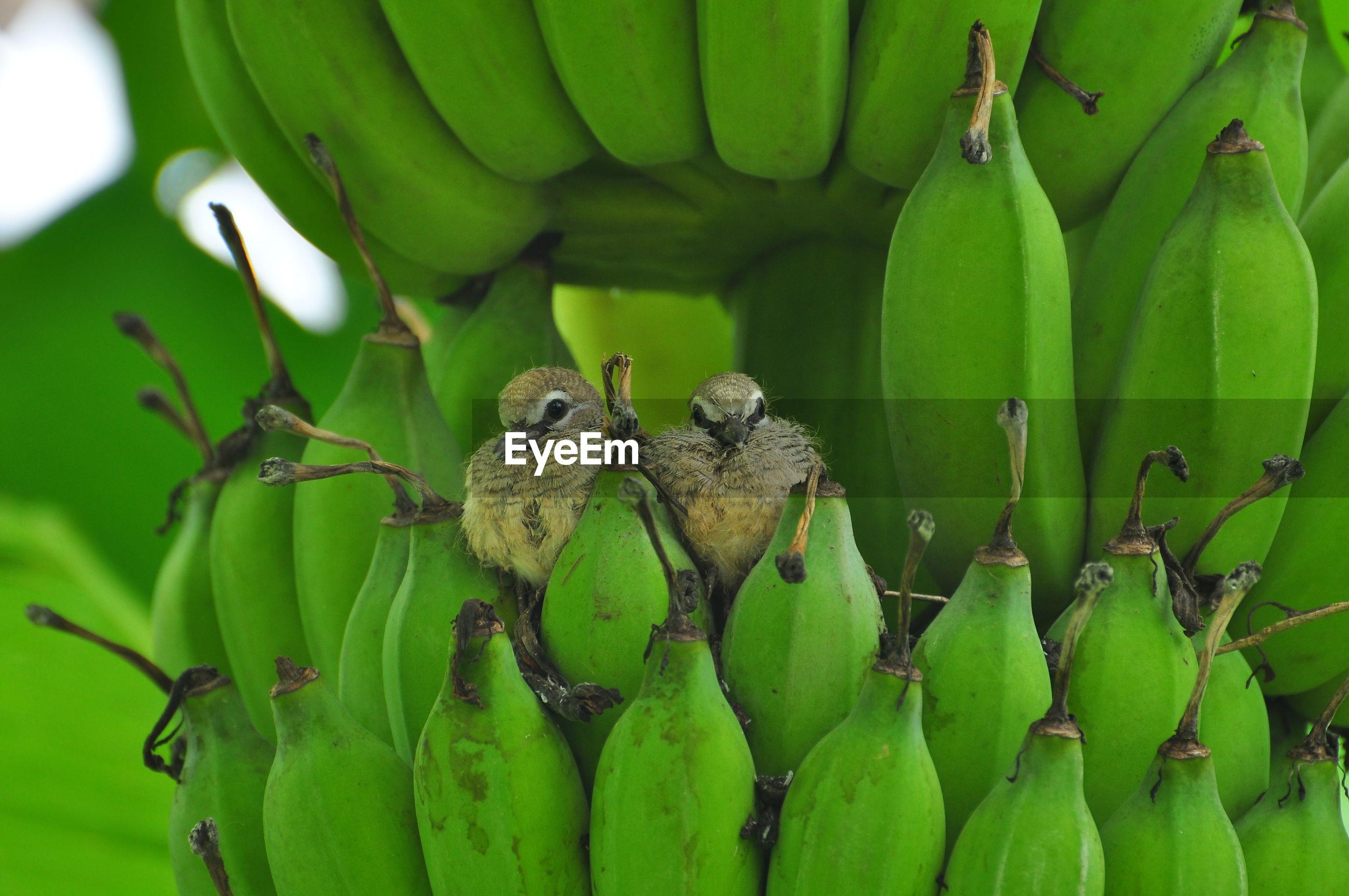 Close-up of birds on raw bananas