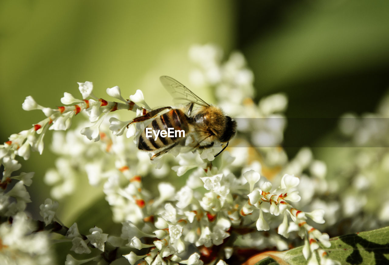 Close-up of bee on white flowers during sunny day