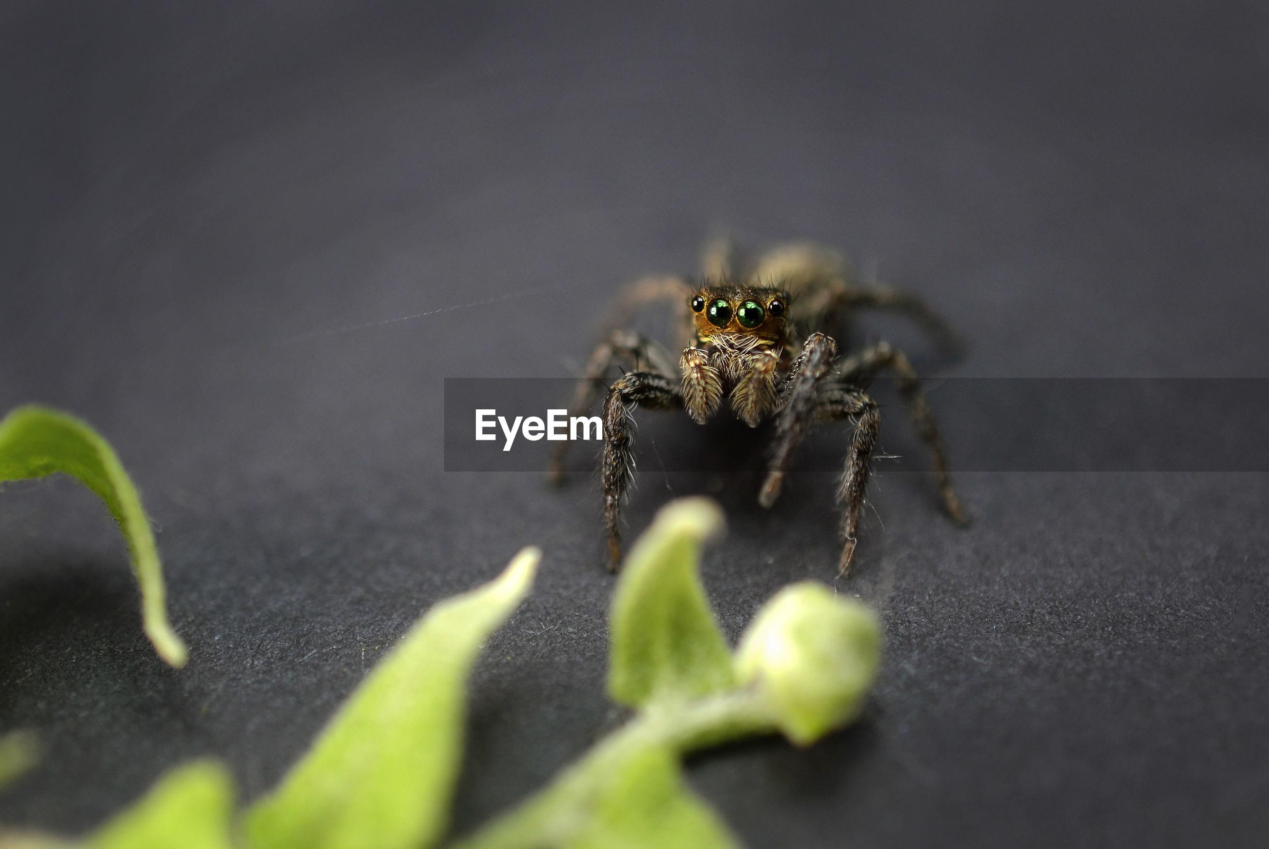 Jumper spider on black background