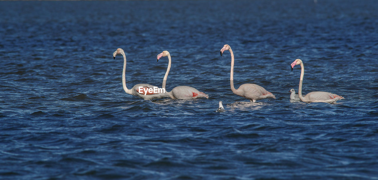 animals in the wild, bird, flamingo, no people, nature, animal themes, water, animal wildlife, outdoors, day, beauty in nature, close-up