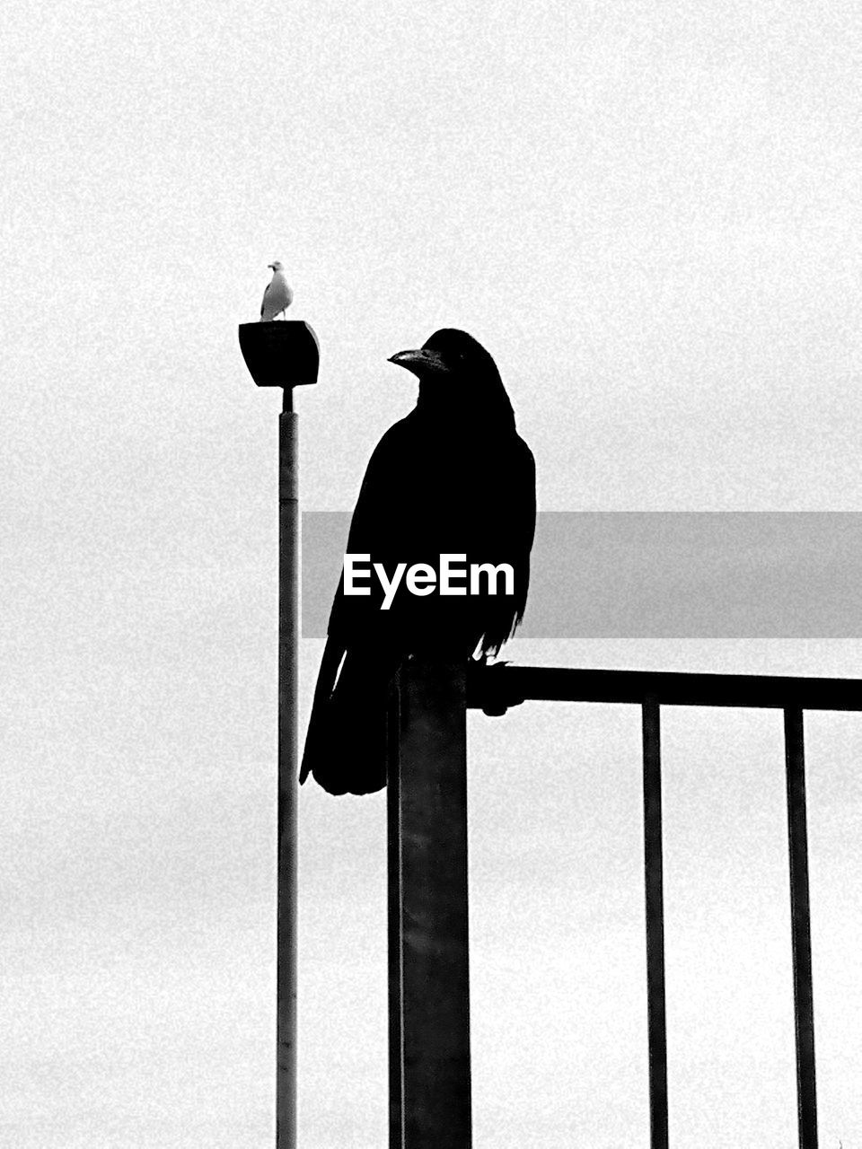 bird, vertebrate, animal themes, animal wildlife, animal, animals in the wild, perching, one animal, sky, no people, railing, day, clear sky, full length, raven - bird, nature, low angle view, crow, outdoors