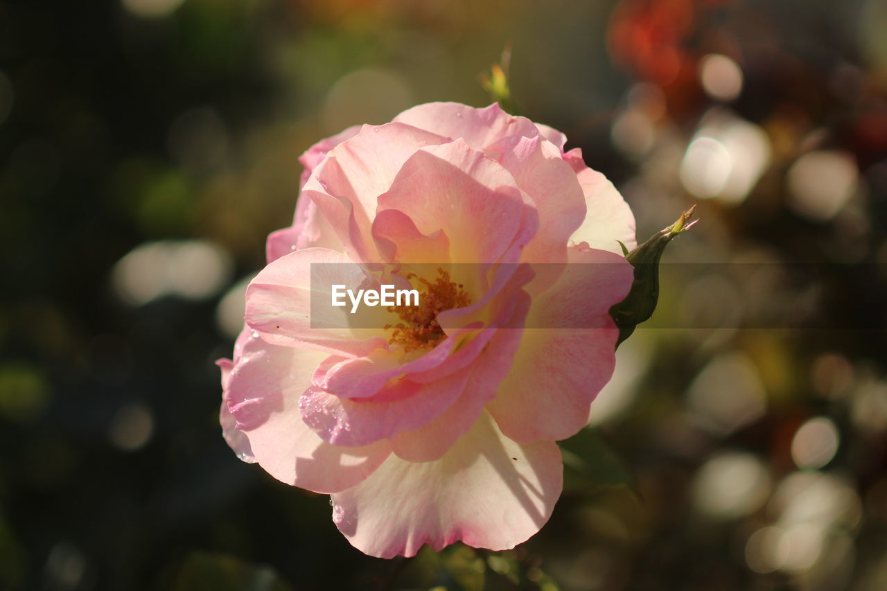 CLOSE-UP OF PINK ROSE FLOWER AGAINST BLURRED BACKGROUND