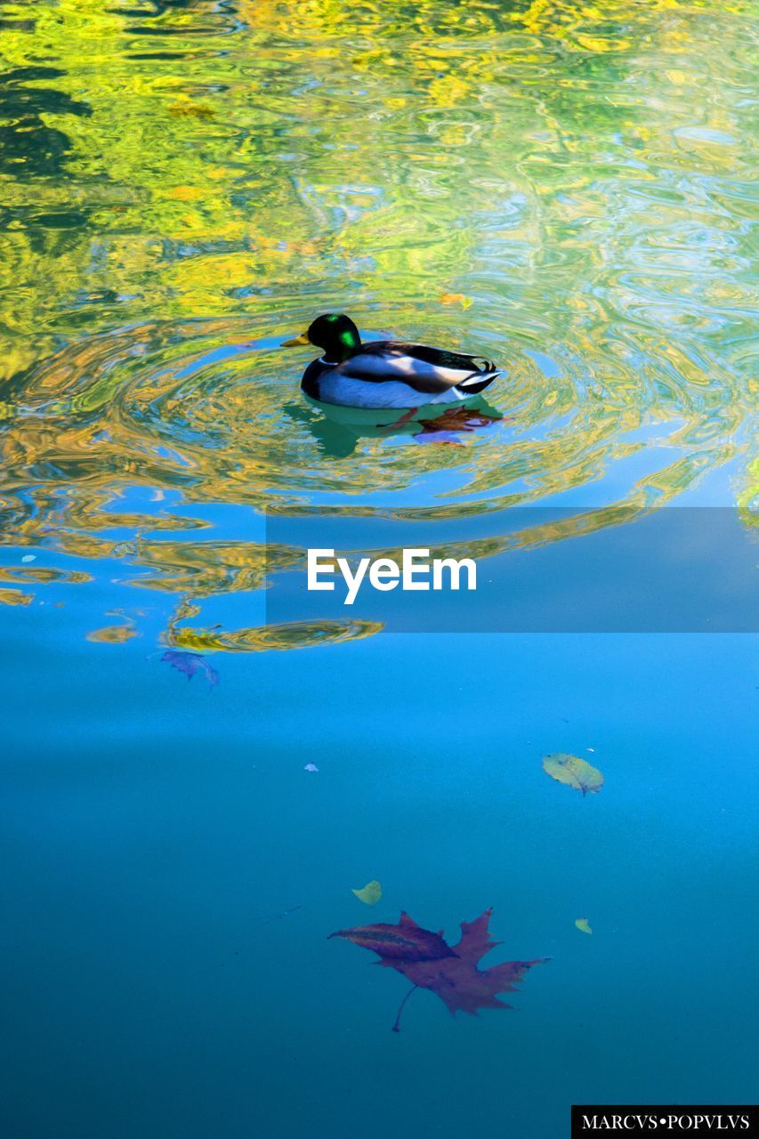 water, animal themes, swimming, animals in the wild, nature, waterfront, no people, day, duck, animal wildlife, lake, blue, outdoors, beauty in nature, bird, sea life, close-up