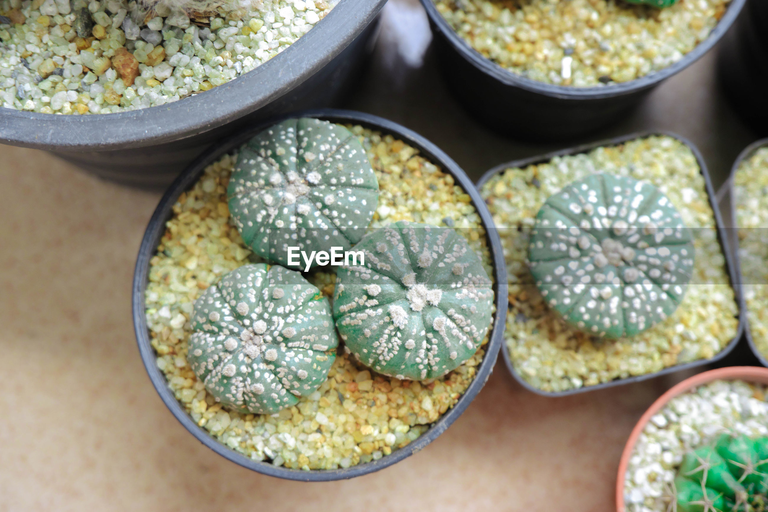 High angle view of cactus in pot on table