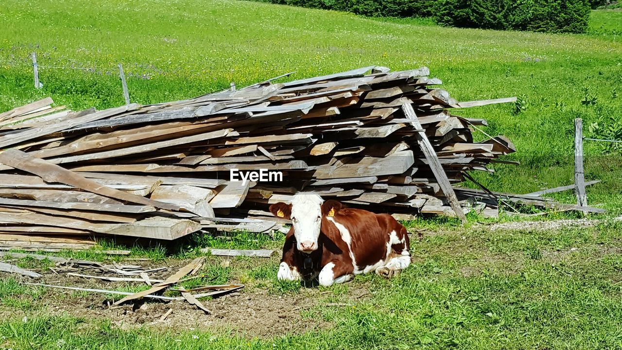 grass, field, domestic animals, animal themes, livestock, mammal, cow, day, no people, grazing, outdoors, green color, nature, farm animal