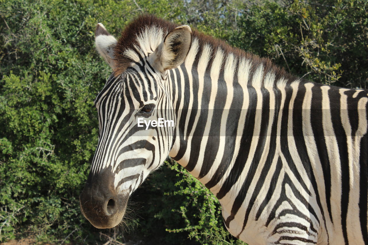 animal themes, animal, animal wildlife, mammal, striped, animals in the wild, zebra, no people, one animal, plant, nature, tree, vertebrate, safari, animal markings, day, animal body part, outdoors, animal head, herbivorous