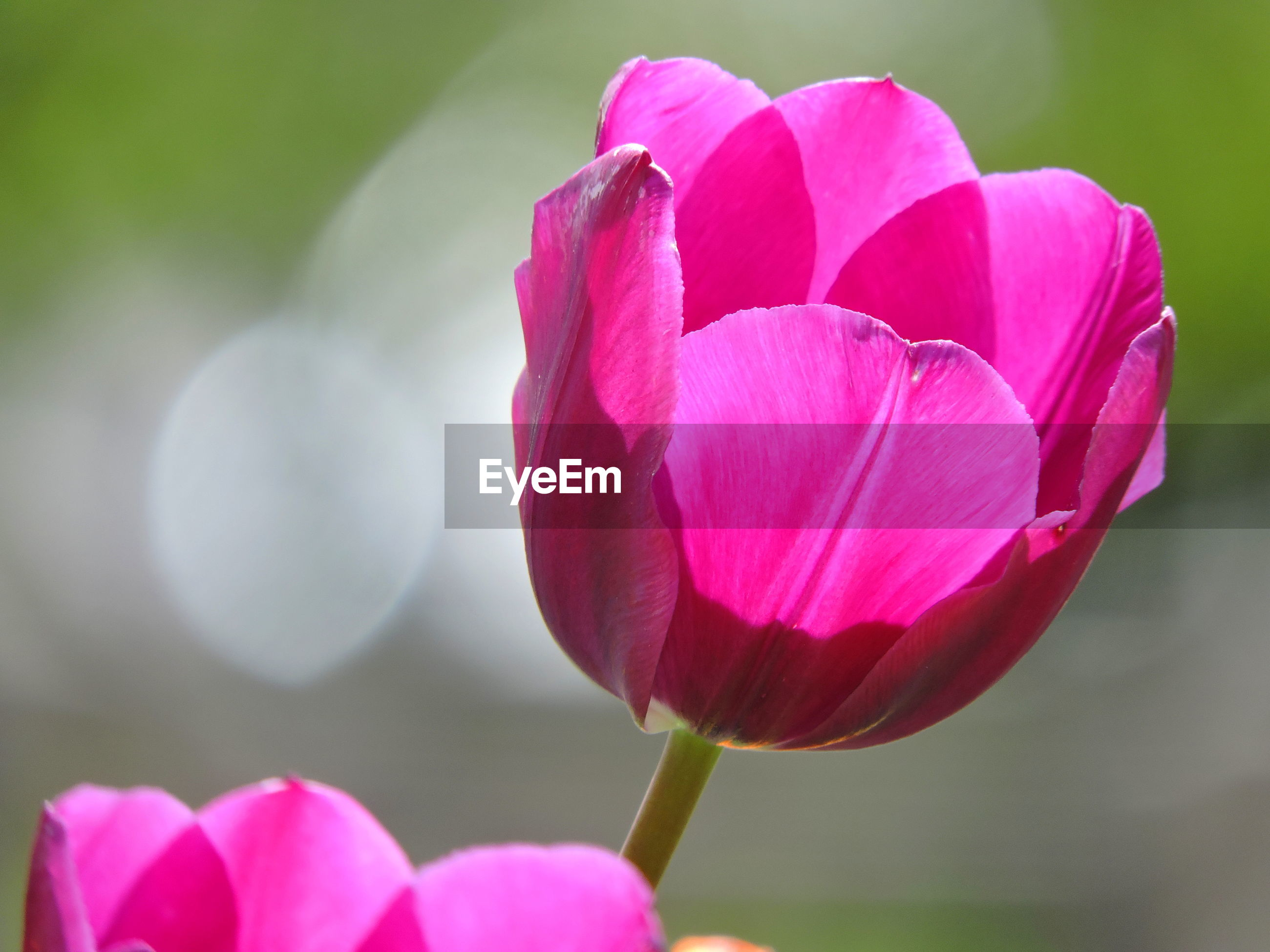 CLOSE-UP OF PINK TULIP FLOWERS