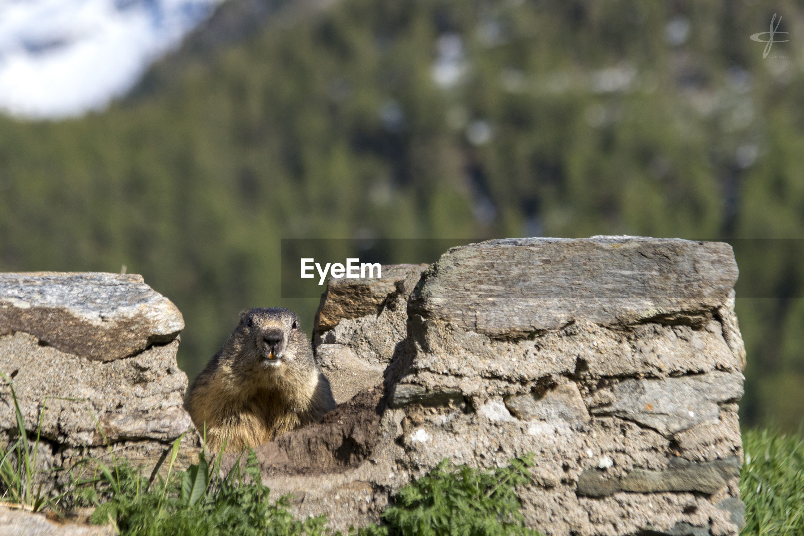Marmot by stone wall