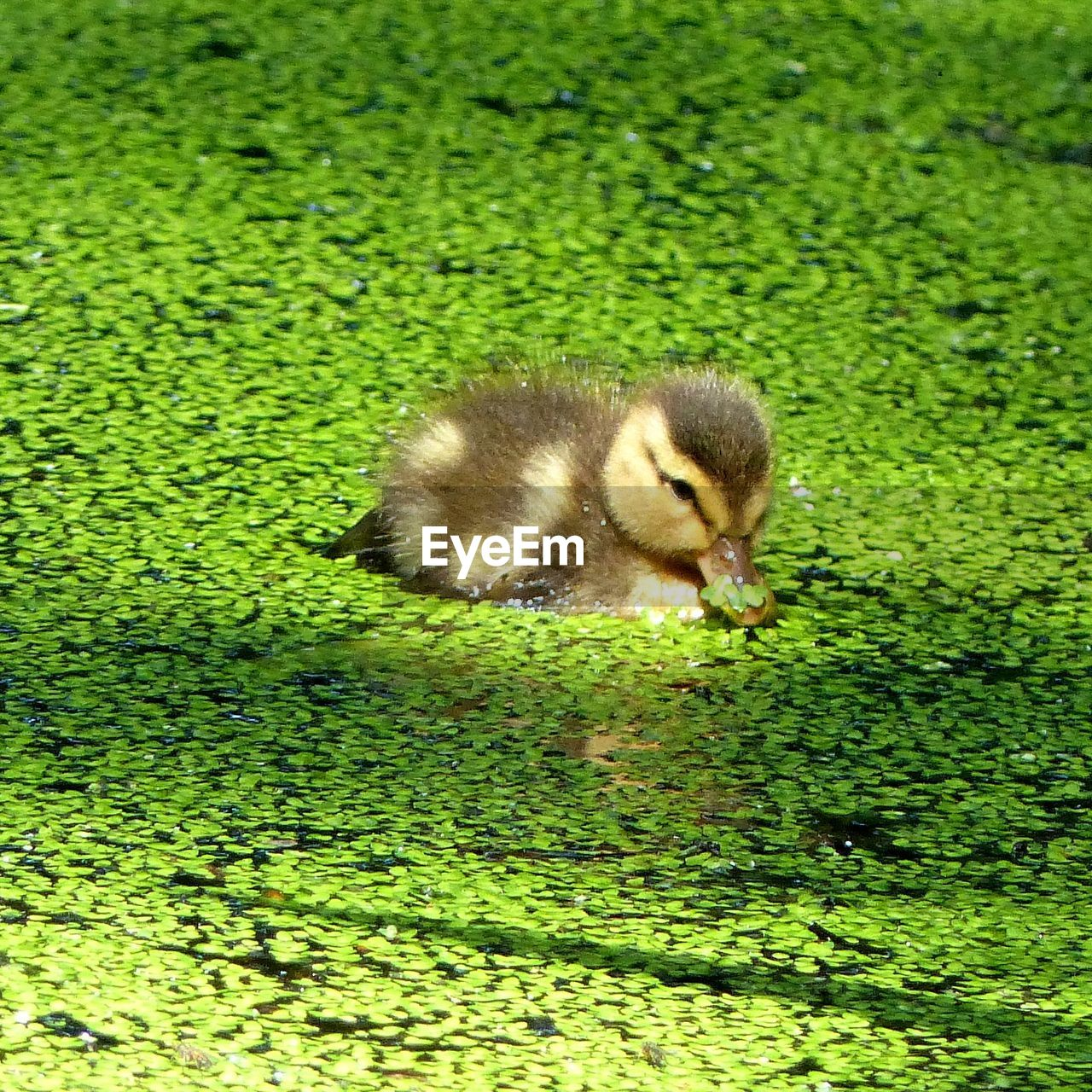 High angle view of duckling swimming in pond