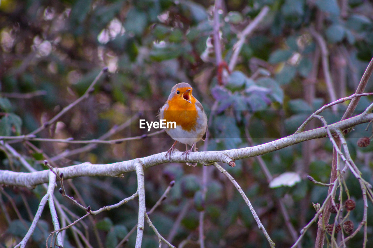 animal themes, animal, robin, perching, bird, one animal, vertebrate, focus on foreground, tree, animals in the wild, branch, animal wildlife, plant, nature, day, no people, close-up, outdoors, beauty in nature, selective focus
