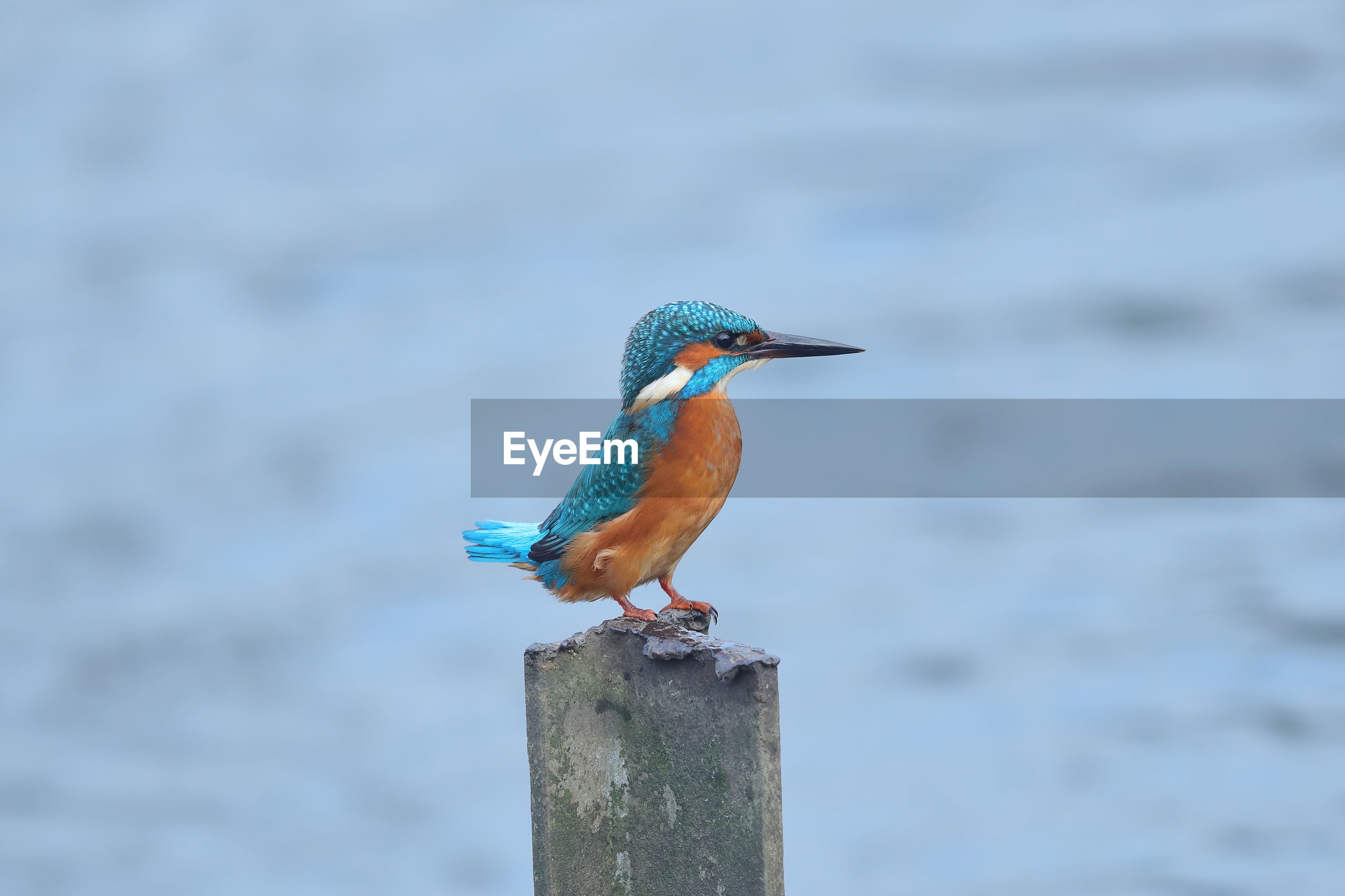 a common kingfisher on a post
