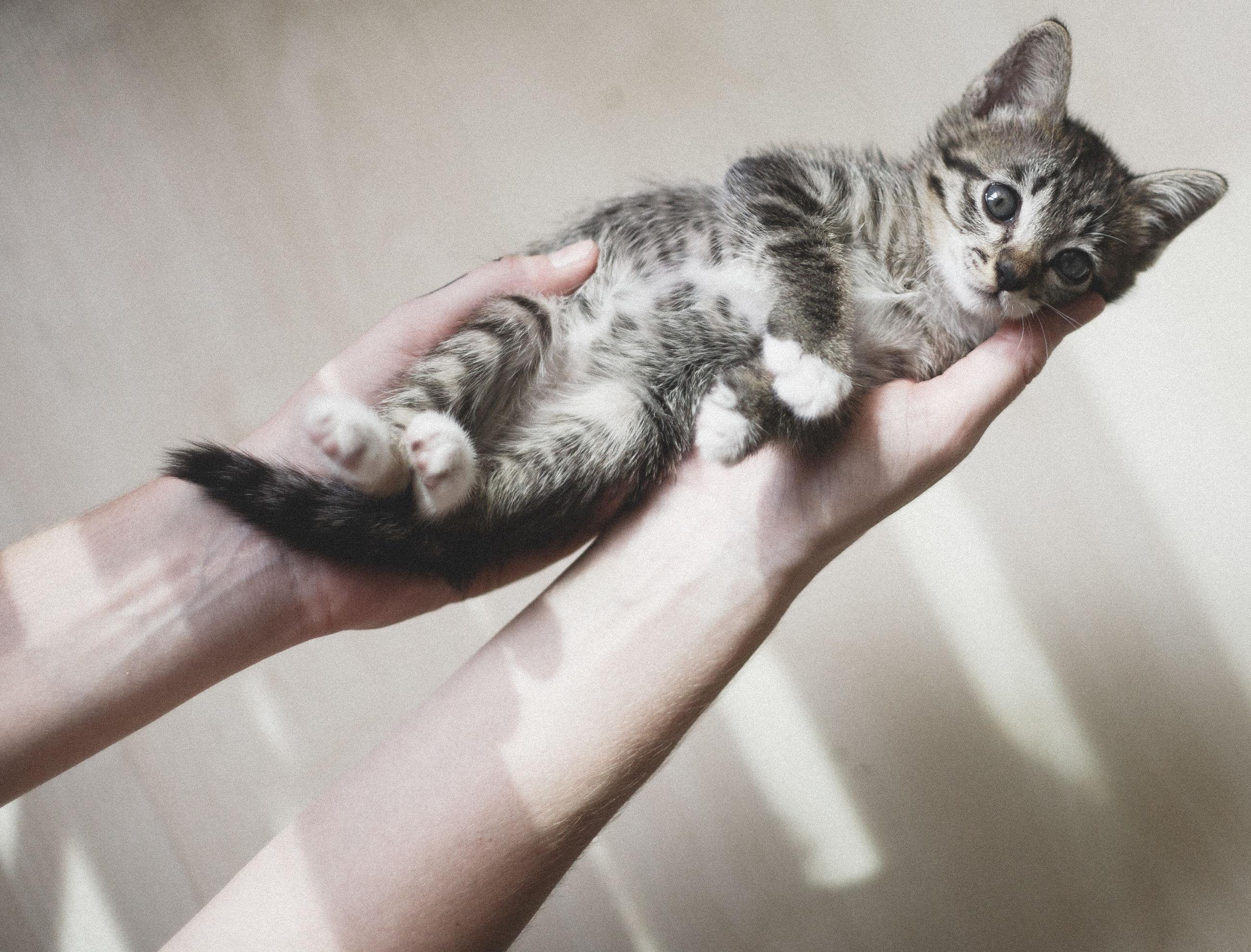 Close-up of hands holding a cute kitten