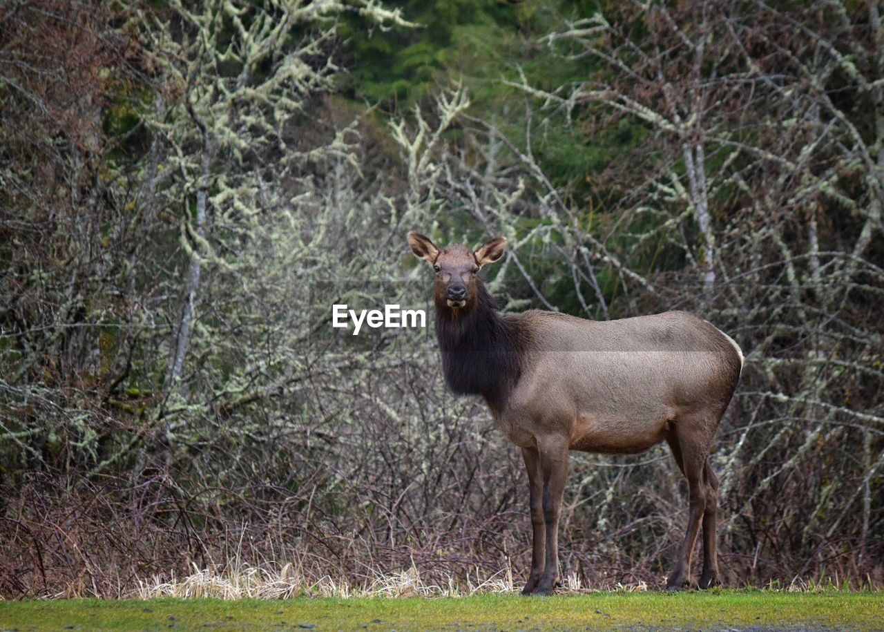 one animal, animal themes, animals in the wild, nature, mammal, day, forest, outdoors, animal wildlife, no people, standing, grass, portrait, tree