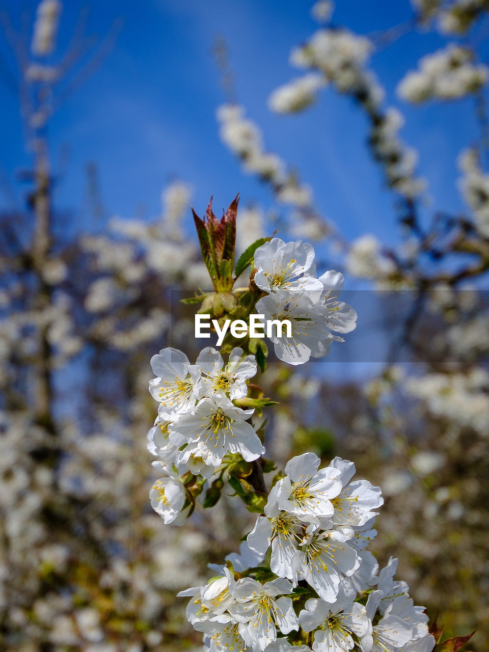 flowering plant, flower, fragility, vulnerability, freshness, plant, beauty in nature, growth, close-up, focus on foreground, petal, white color, flower head, nature, day, blossom, tree, no people, springtime, pollen, cherry blossom, pollination, cherry tree