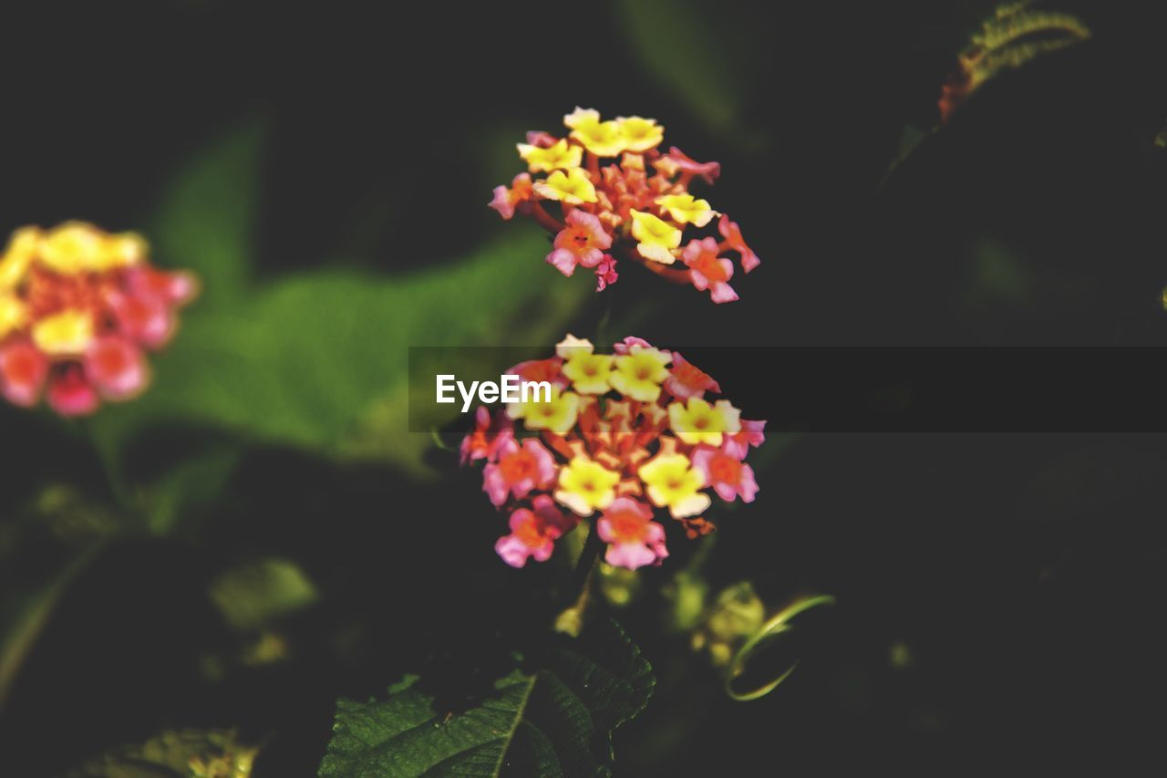 flower, beauty in nature, lantana camara, growth, fragility, plant, nature, freshness, petal, no people, outdoors, flower head, leaf, blooming, day, close-up