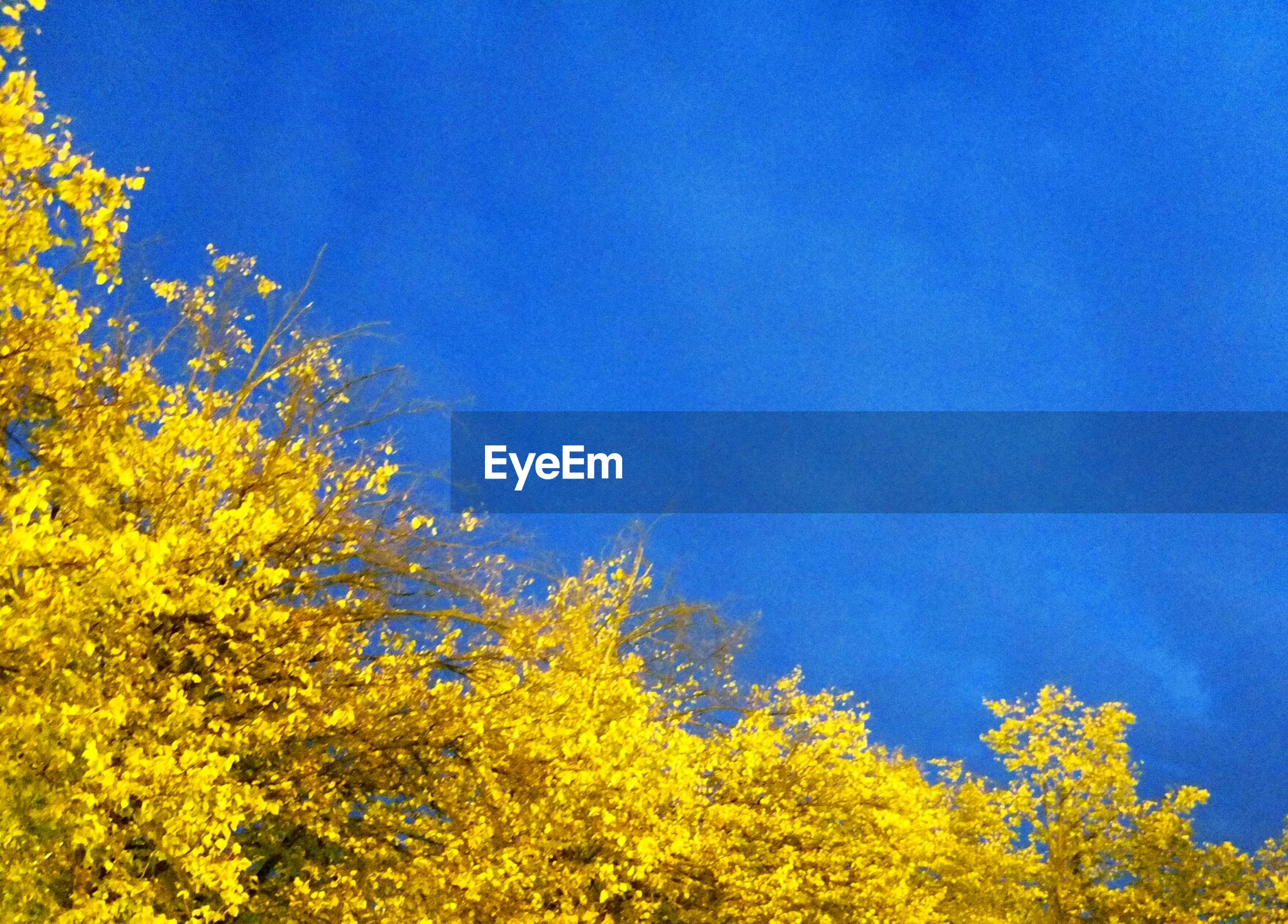 yellow, blue, clear sky, tree, low angle view, growth, beauty in nature, copy space, nature, tranquility, autumn, branch, scenics, sky, tranquil scene, outdoors, no people, high section, change, flower