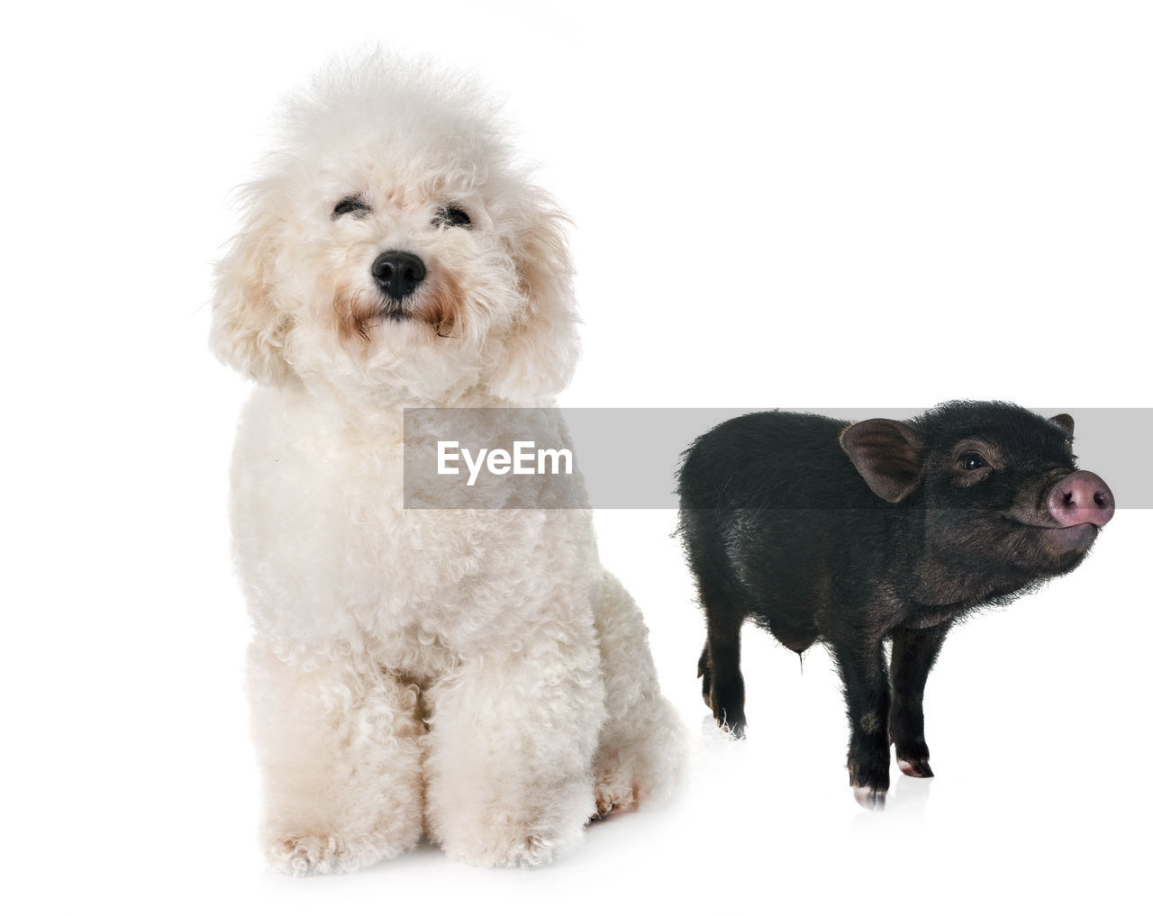 studio shot, mammal, pets, animal, animal themes, group of animals, domestic, white background, domestic animals, canine, dog, two animals, cute, indoors, young animal, cut out, vertebrate, poodle, puppy, no people, small