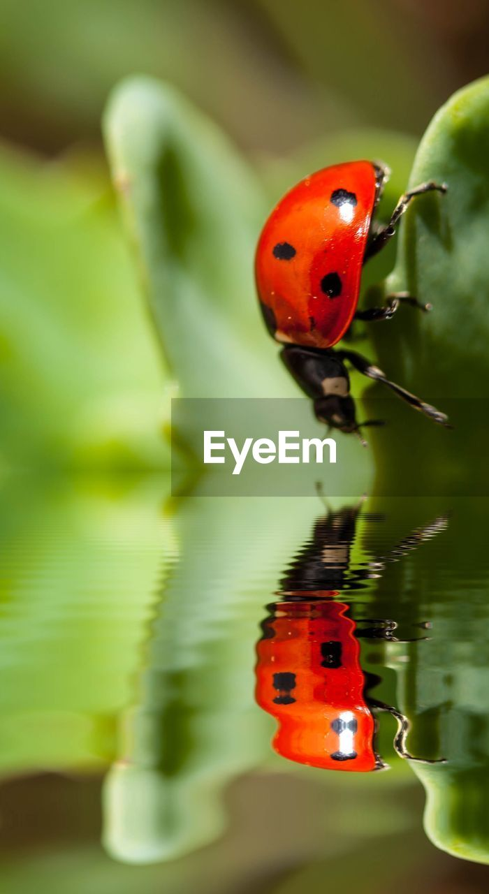 Ladybug Reflecting In Water