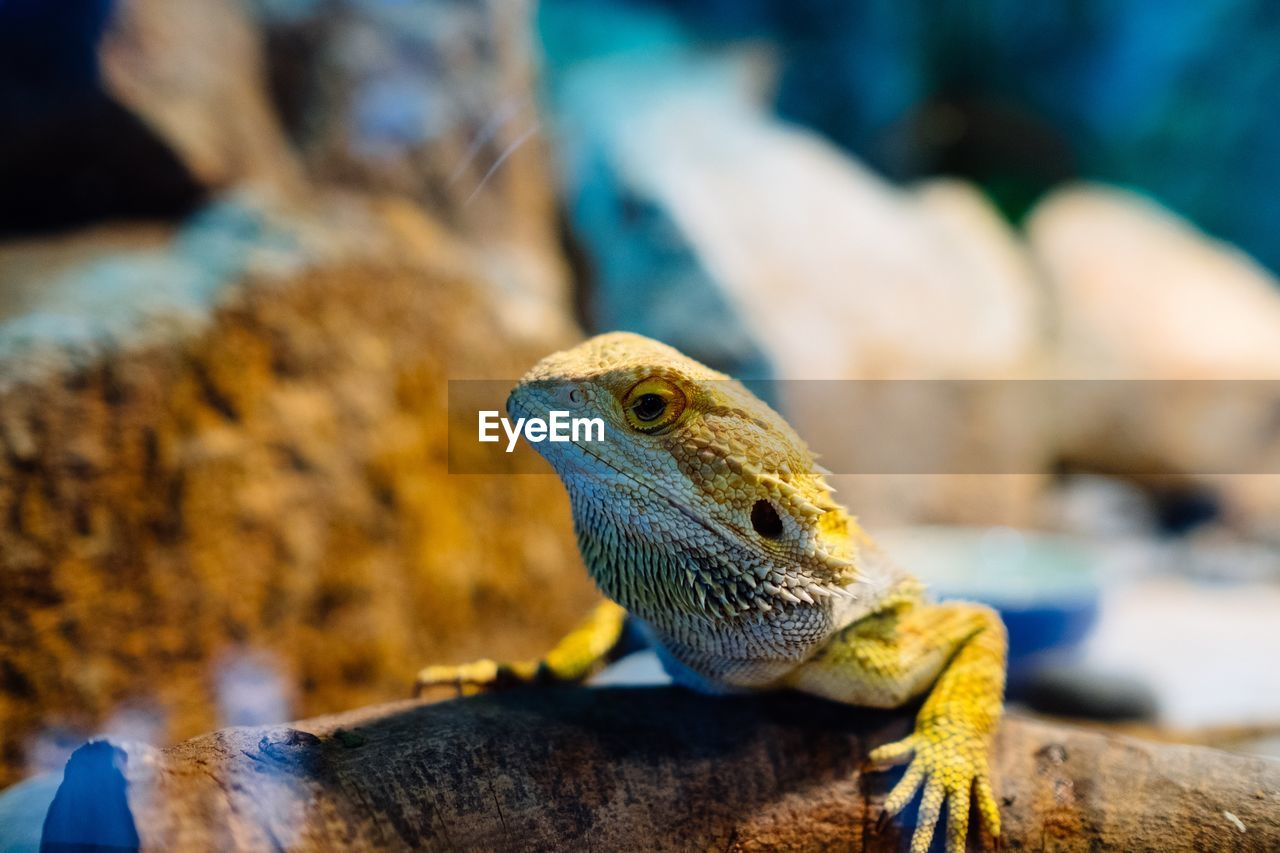reptile, animal, animal themes, animal wildlife, vertebrate, one animal, lizard, animals in the wild, close-up, solid, focus on foreground, bearded dragon, rock, rock - object, no people, nature, animal head, animal body part, day, selective focus, animal scale, animal eye