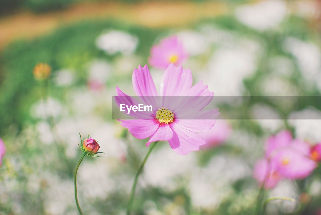 Close-up of pink flowers blooming outdoors