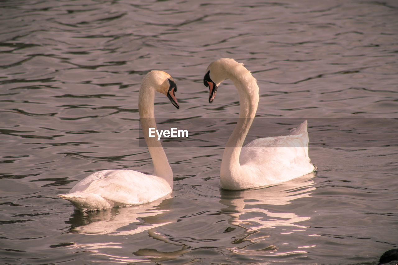 water, animals in the wild, group of animals, animal themes, swimming, animal wildlife, bird, animal, swan, vertebrate, lake, waterfront, two animals, water bird, zoology, day, no people, nature, togetherness, animal family, floating on water, cygnet, animal neck